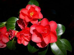 Pokojová rostlina - Begoníe
